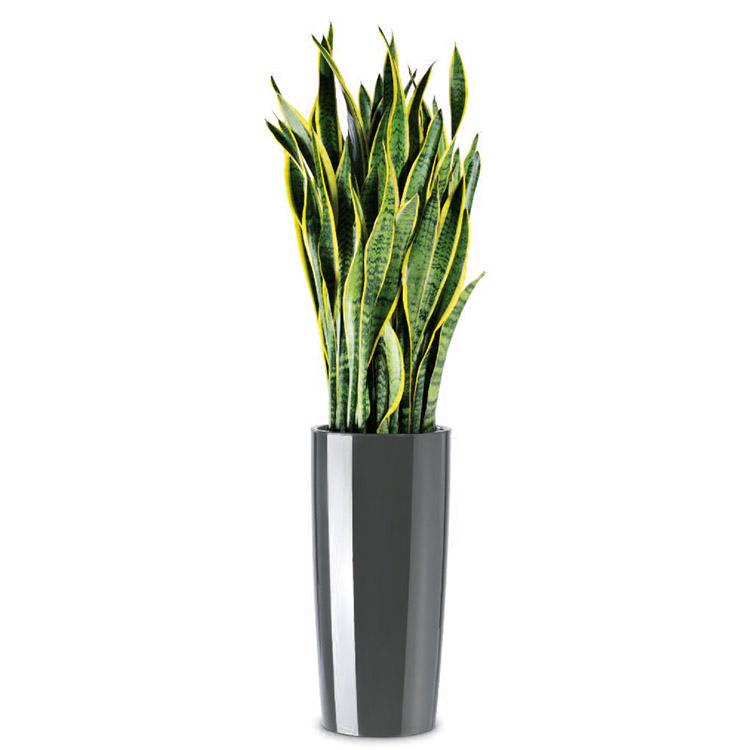 Übertopf Musa mit Pflanze